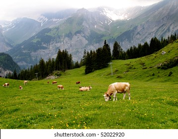 Lovely brown and white cows wearing bells are grazing in a beautiful green meadow in the Swiss alps