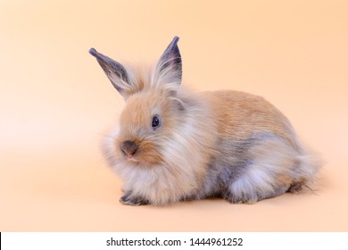 Lovely bunny easter rabbit on light orange background. beautiful lovely pets.