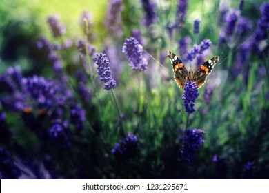A lovely butterfly sits on a lilac lavender flower in a summer garden