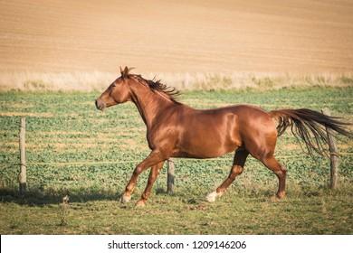 A Lovely Chestnut Horse At Autumn