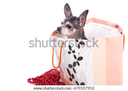 Arkistovalokuvamuokkaa Lovely Gift Over Bag Chihuahua Dog Nyt tQshdrC
