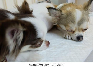 Lovely Chihuahua dog sleeping next to each other.