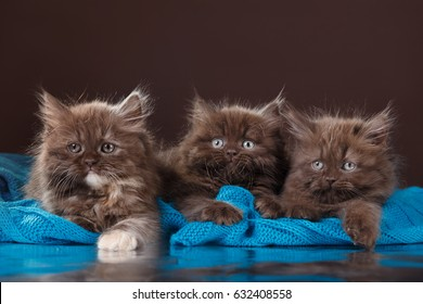 Lovely chocolate kittens on a brown background
