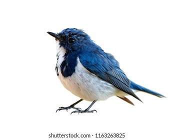 Lovely chubby blue bird, Superciliaris ficedula (Ultramarine Flycatcher) beautiful blue bird with white feathers on its chest to belly isolated on white background details from head to tail