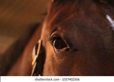 A  lovely  close up shot of a  bay horse's face with crystal clear focus on it's  eye capturing this horse's kind nature and  it's  willingness to please.