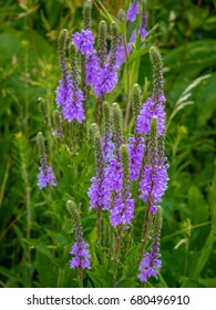 Lovely clusters of Blue Vervain (Verbena hastata), another pretty, wild plant thought to have medicinal value