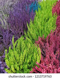 Lovely Colorful Calluna vulgaris, heather, ling, or simply heather). Diversity of plants in city flowerpot. Heather of various species. colorful erica heather arrangement in autumn close up. Norway.