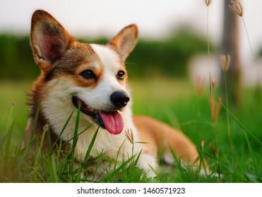 Lovely corgi dog in the field