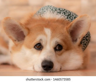 Lovely corgi dog on the floor