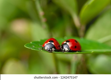 Lovely couple of ladybirds on a leaf