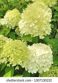 Lovely cream-white colored Hortensia Strong Annabelle flowers in bloom