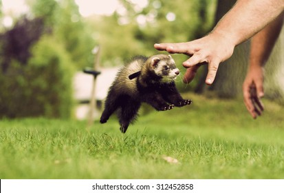 lovely and cute baby ferrets or weasel in summer garden playing and jump