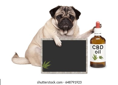 lovely cute pug puppy dog sitting down with bottle of CBD oil and blackboard sign, isolated on white background