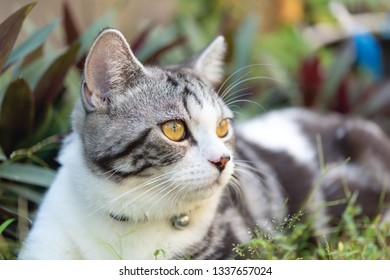 Lovely cute tubby cat with  beautiful yellow eyes  in garden outdoor
