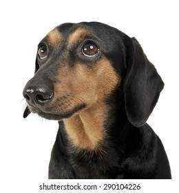 lovely dachshund portrait in white studio