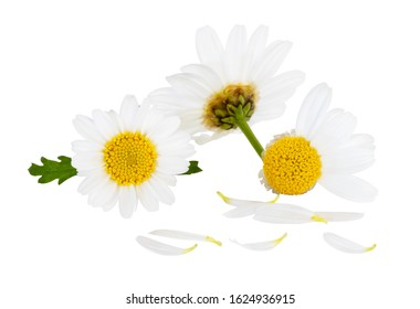 Lovely Daisies (Marguerite) with single petals in the foreground. Isolated on white background including clipping path and without shadow.