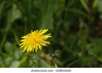 A lovely Dandylion flower in full bloom.