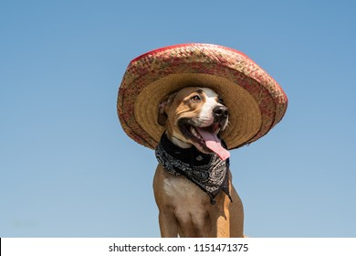 Lovely dog in mexican hat as a western style bandit of gangster. Cute funny staffordshire terrier dressed up in sombrero hat as mexico festive symbol or for halloween