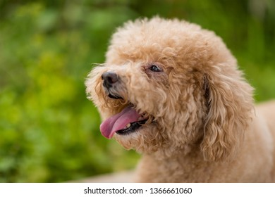 Lovely Poodle Stock Photos Images Photography Shutterstock