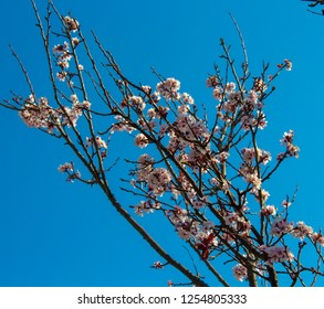 Lovely double pale pink frilled decorative flowers of deciduous ornamental trees in spring blossoms against the blue Australian sky attracting bees to the pollen is a superb sight in the urban street.