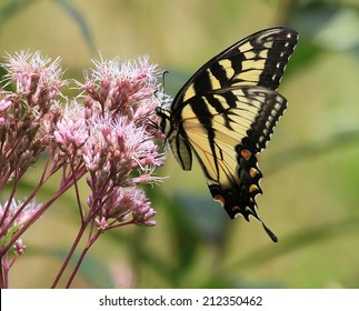 Lovely Eastern Tiger Swallowtail Butterfly