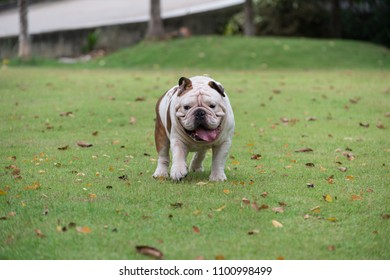 lovely english bulldog walking on green grass and show tounge at the park, fat dog