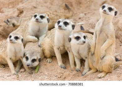 lovely family of meerkats