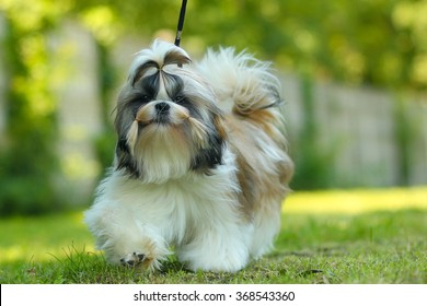 Lovely Female Shih Tzu dog on green background