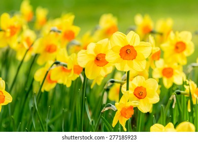Lovely field with bright yellow and orange daffodils (Narcissus). Shallow dof and natural light.