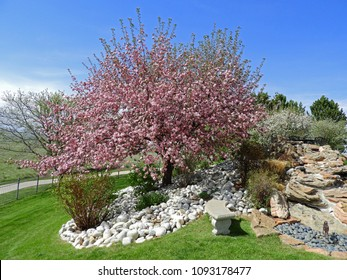 lovely flowering pink crab apple tree on a sunny day in a rock and waterfall-landscaped  yard  in broomfield, colorado