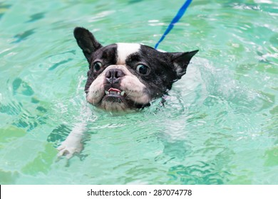 fe6bf3fa9c8408 A lovely french bulldog is swimming in the pool with joyful