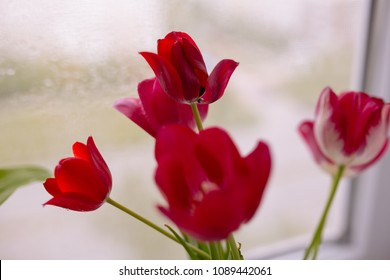 lovely fresh lilac branches and tulips in a glass vase on a windowsill on a water background on the window. holiday card with flowers. spring plants with drops of morning dew. Wallpaper for desktop