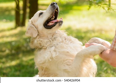 Lovely friend of a human looks at his master with opened mouth. Golden retriever gives a paw to the male hand.