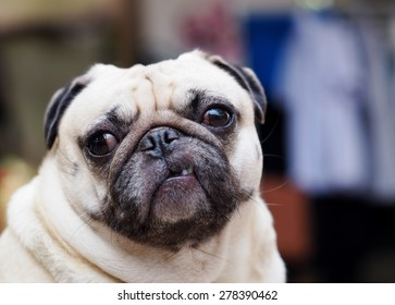 lovely funny white cute fat pug dog close up posting on a table on garage floor in a country house making moody face under natural sunlight on a sunny day looking for friends to play with.