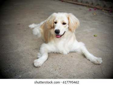 lovely funny white cute fat compact size young dog playing around on home garage floor portraits close up makes funny face under natural sunlight outdoor