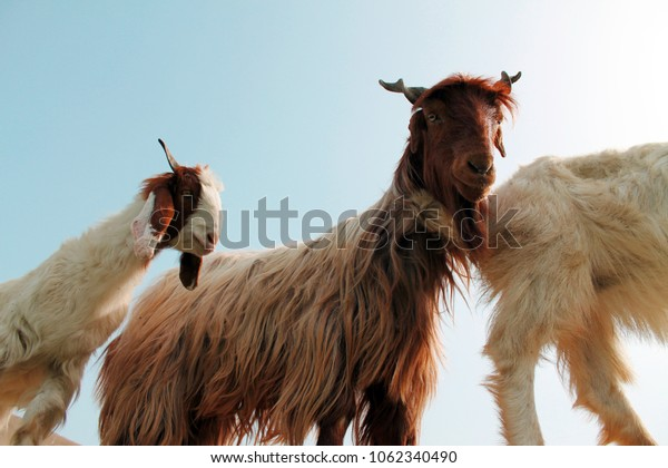 Lovely Goat head isolated on blue sky background
