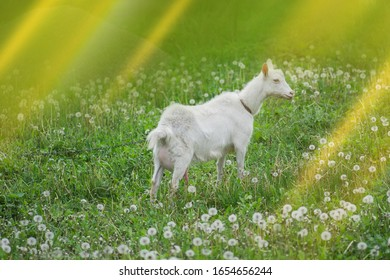 Lovely  goat on a farm in the village. Cheerful  goat  standing in a pasture. Goat in the field. Animal husbandry concept