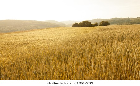 Lovely golden color sunny wheat field landscape background.