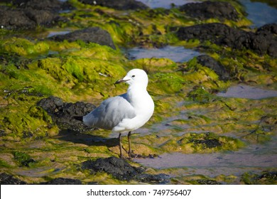 Lovely graceful white seagull Laridae in the sub-order Lari   standing  on the green algae covered rocks at Ocean  Beach  Bunbury Western Australia on a sunny late winter morning eating an apple core.