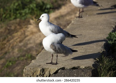 Lovely graceful   white   seagulls  Laridae in the sub-order Lari  standing   on  the  concrete ledge  near the lake preening    in Big Swamp  Bunbury Western Australia  on a sunny winter afternoon.