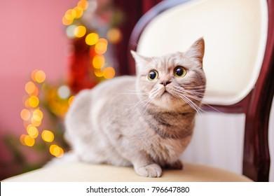 Lovely gray cat in room interior