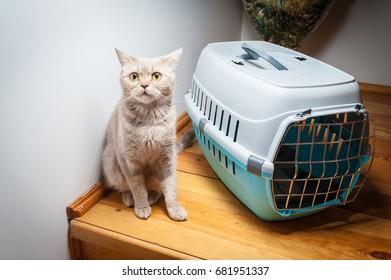 Lovely gray cat sitting near pet carrier
