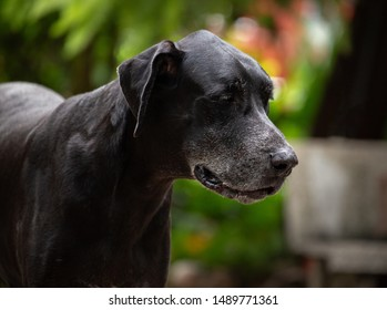 lovely great dane, playing outside on ground.