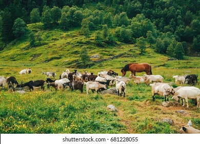 In a lovely green field, horse and goats graze together. Very beautiful juicy picture overlooking the field in Norway