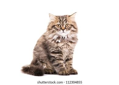 Lovely grey persian kitten sitting on isolated white white background