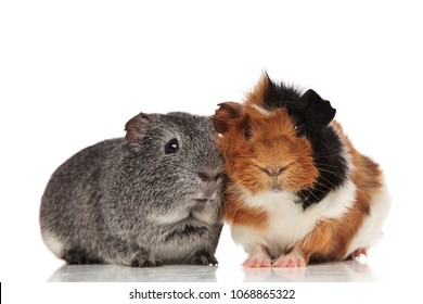lovely guinea pig couple with white, grey, black and brown fur, sitting on white background