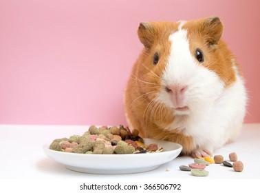 Lovely Guinea pig eating pellets