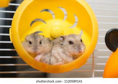 lovely hamster rest in hamster wheel
