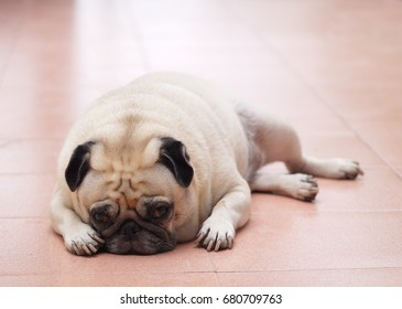 lovely happy funny white fat cute pug dog laying on home outdoor ceramic tiles floor making sad and boring face with home outdoor surrounding blur background under morning sunlight