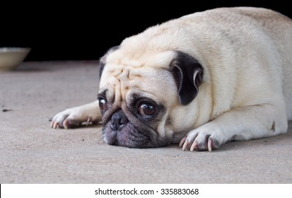 lovely happy white fat cute pug dog laying relaxing outdoor making funny face under morning sunlight die-cut isolated on dark background
